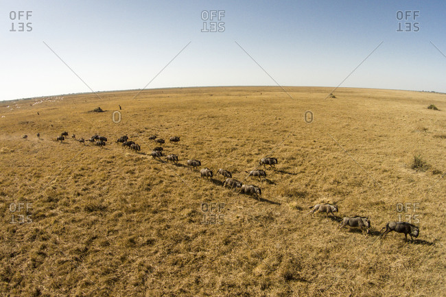 Aerial view of herd of running Wildebeest (Connochaetes taurinus) across grasslands in Savuti Marsh in Okavango Delta