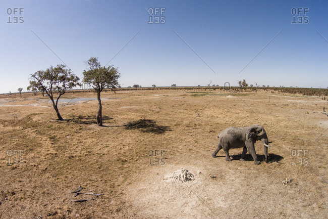 Aerial view of Elephant (Loxodonta africana) walking Savuti Marsh's grasslands in Okavango Delta