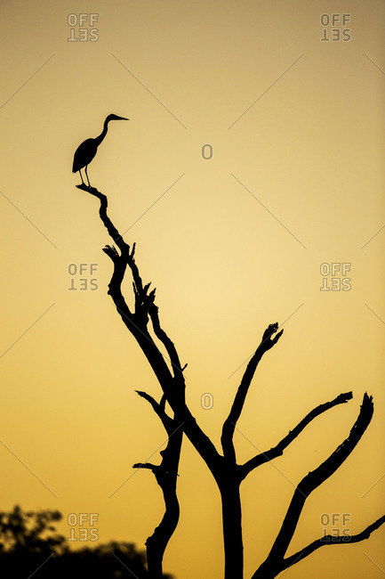 Silhouette of Yellow-Billed Egret (Egretta intermedia) standing in dead tree above Savuti Channel at dusk