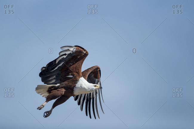 African Fish Eagle (Haliaeetus vocifer) flaps wings while taking flight above Savuti Marsh