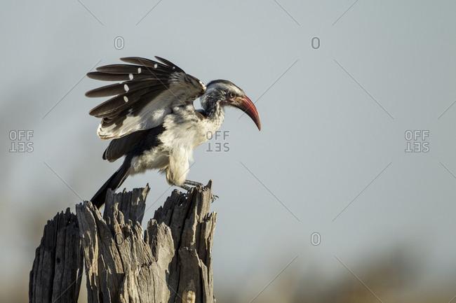 Southern Yellow Hornbill (Tockus leucomelas) standing on dead tree branch in Savuti Marsh