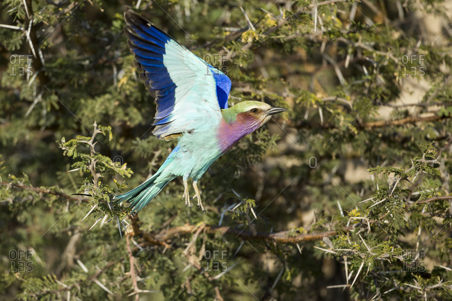Lilac-Breasted Roller (Coracias caudata) flapping wings as it lands on thorny acacia branches