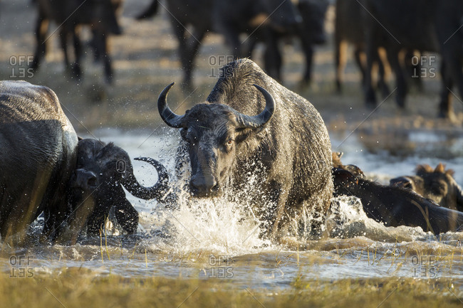 Herd of Cape Buffalo (Syncerus caffer) swimming across river crossing along narrow channel of Chobe River