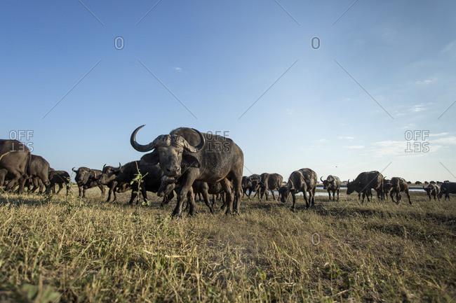 Herd of Cape Buffalo (Syncerus caffer) feeding on grass along banks of Chobe River