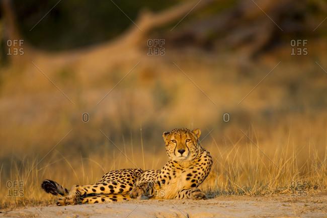 Cheetah (Acinonyx jubatus) rises from resting spot on low rise near Xakanaxa Camp at dawn