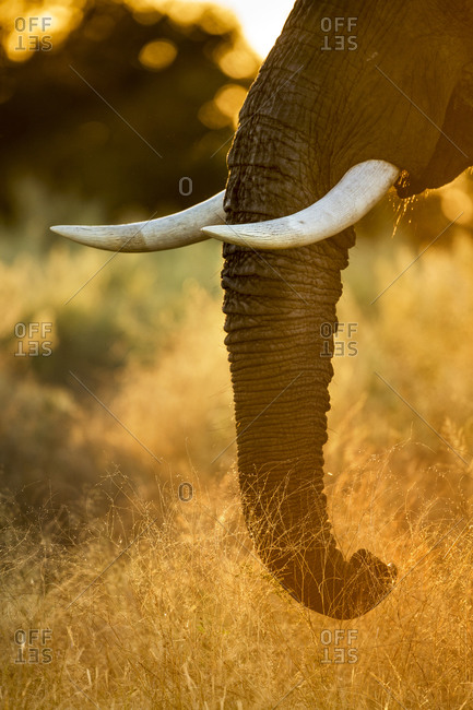Rising sun lights African Elephant (Loxodonta africana) feeding on vegetation in Okavango Delta