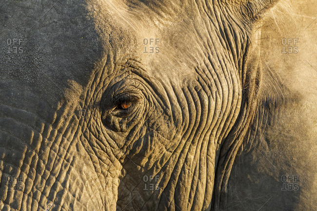 Rising sun lights eye of African Elephant (Loxodonta africana) in Okavango Delta
