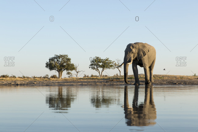 African Elephant (Loxodonta africana) stands at edge of water hole in Savuti Marsh