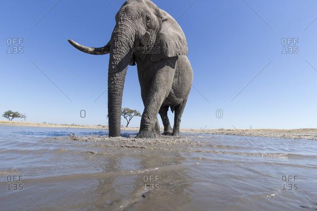 Remote camera view of African Elephant (Loxodonta africana) walking through shallow water hole in Savuti Marsh