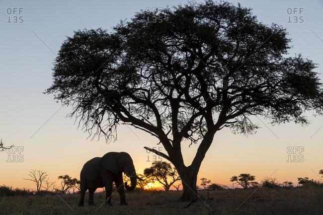 African Elephant (Loxodonta africana) standing beneath acacia tree at sunset in Savuti Marsh