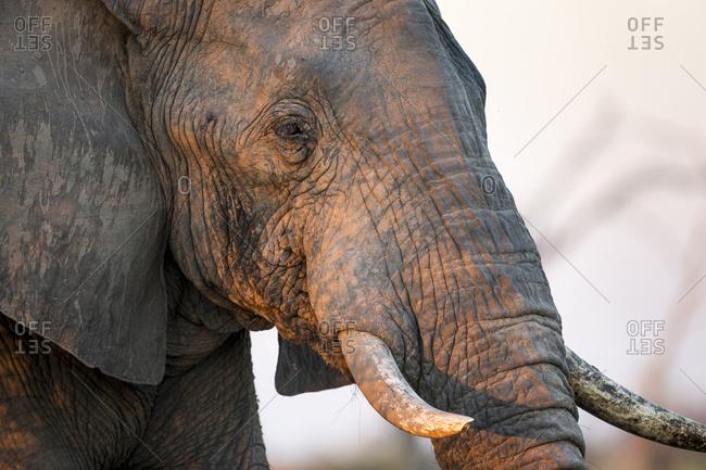 African Elephant (Loxodonta africana) standing in morning sunlight in Savuti Marsh