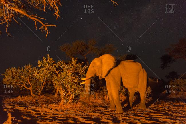 African Elephant (Loxodonta africana) stands by firelight in Kalahari Desert at night in Savuti Marsh