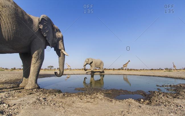 African Elephant (Loxodonta africana) drinking from small water hole and nearby Giraffe (Giraffa camelopardalis) herd in Savuti Marsh