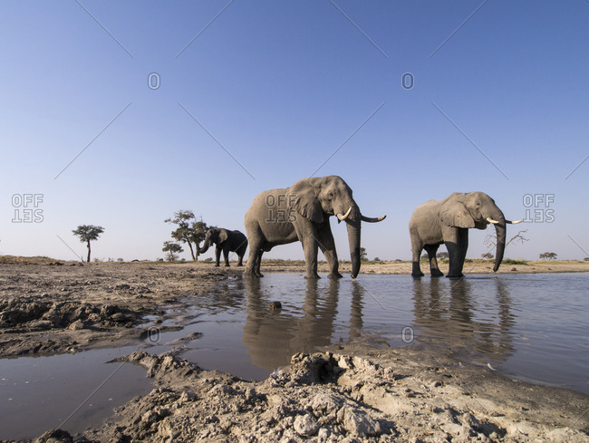 African Elephant Herd (Loxodonta africana) drinking from muddy water hole in Savuti Marsh