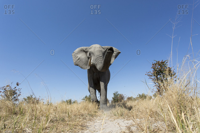 Low angle view of African Elephant (Loxodonta africana) walking along game path in Savuti Marsh