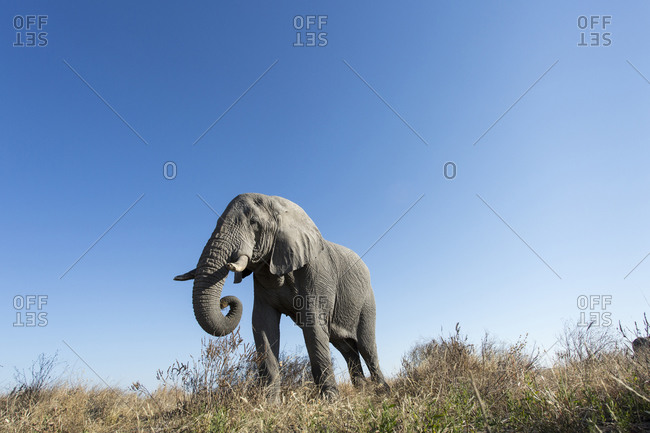 Low angle view of African Elephant (Loxodonta africana) feeding in Savuti Marsh