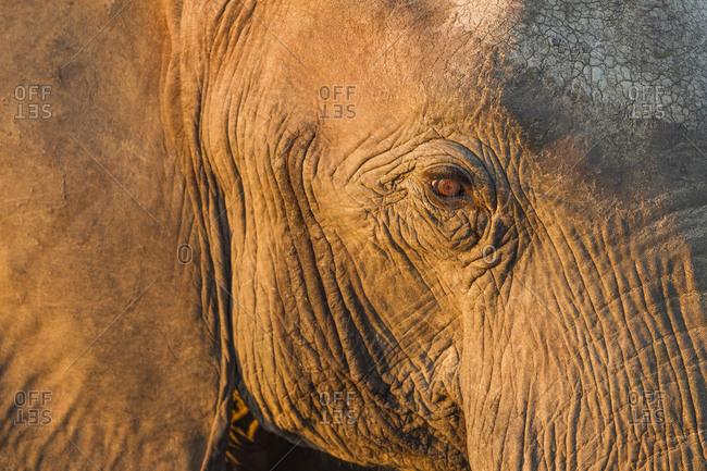 Close-up view of eyeball of Elephant (Loxodonta africana) standing along Chobe River at sunset
