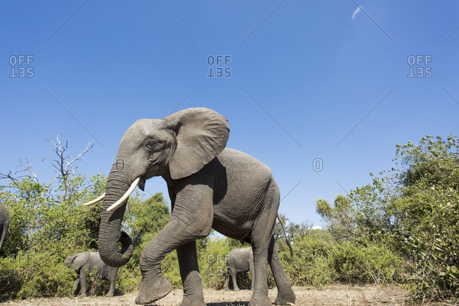 African Elephant (Loxodonta africana) walking in mopane forest along Chobe River on winter afternoon