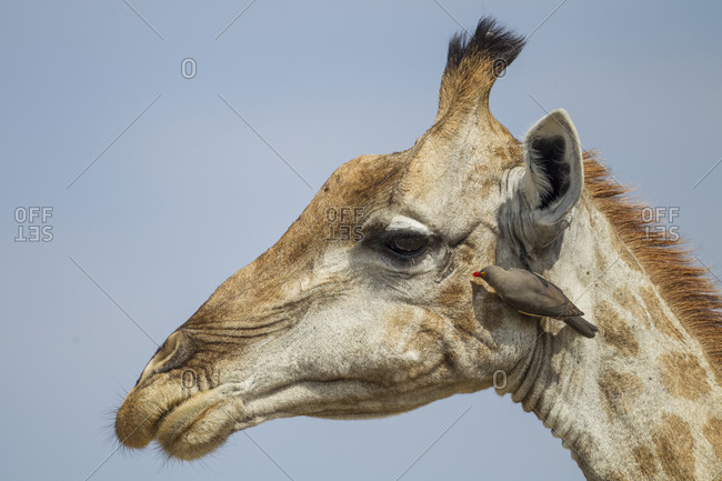 Giraffe (Giraffa camelopardalis) with Red-Billed Oxpecker (Buphagus erythrorhynchus) grooming its head