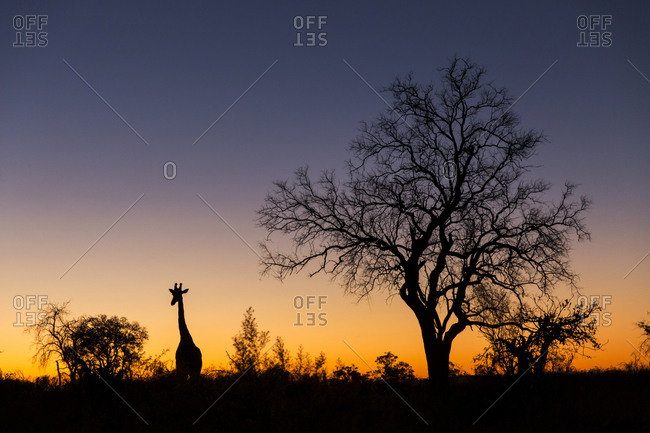 Silhouette of Giraffe (Giraffa camelopardalis) standing near acacia trees on Savuti Marsh at dusk