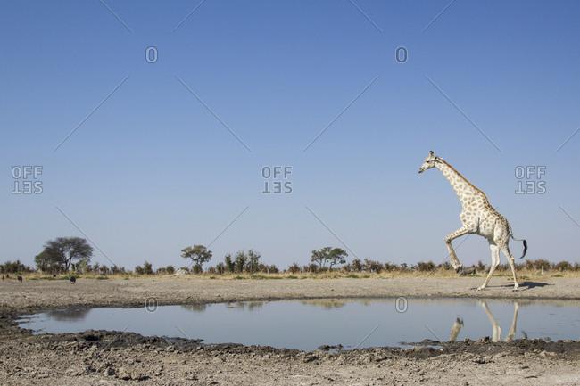 Giraffe (Giraffa camelopardalis) leaps away from edge of Marabou Pan water hole in Savuti Marsh