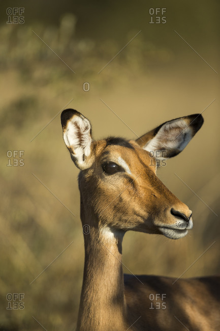 Close-up of Impala (Aepyceros melampus) standing in morning sunshine in Okavango Delta