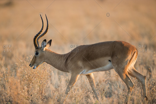 Adult male Impala (Aepyceros melampus) walking through dry grass in Savuti Marsh in Okavango Delta