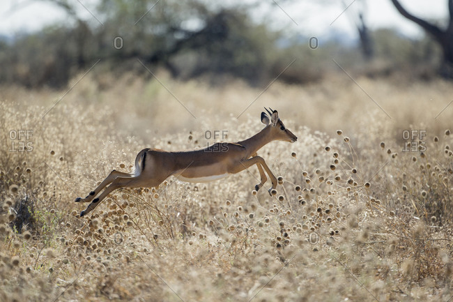 Impala (Aepyceros melampus) leaping through tall grass in Savuti Marsh in Okavango Delta