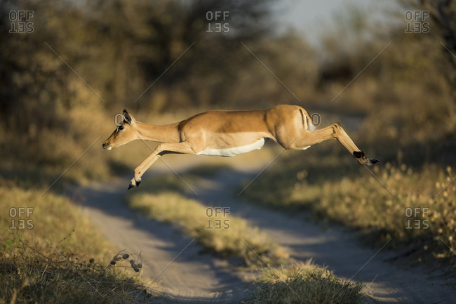 Impala (Aepyceros melampus) leaping across safari track in Savuti Marsh in Okavango Delta