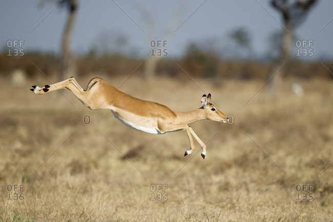 Impala (Aepyceros melampus) leaping over tall grass in Savuti Marsh in Okavango Delta