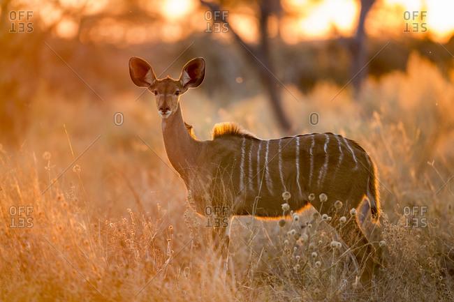 Adult female Greater Kudu (Tragelaphus strepsiceros) standing in Savuti Marsh at sunrise