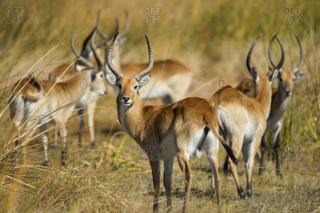 Southern Lechwe (Kobus leche) standing in marsh grass in Okavango Delta near Khwai River