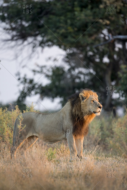 Adult Male Lion (Panthera leo) standing in morning sun in Okavango Delta