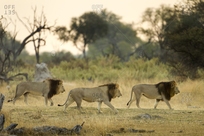 Three Adult Male Lions (Panthera leo) walking in morning sun in Okavango Delta