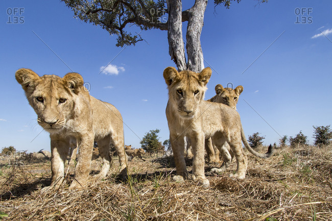 Wide angle view of Lion cubs (Panthera leo) approaching remote camera under acacia tree in Savuti Marsh