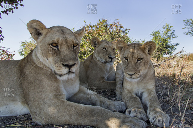 Wide angle view of Lioness and cub (Panthera leo) resting near remote camera under acacia tree in Savuti Marsh