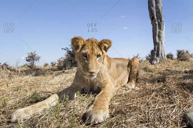 Wide angle view of Lion cub (Panthera leo) resting near remote camera under acacia tree in Savuti Marsh