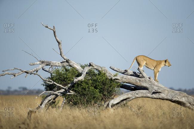 Lioness(Panthera leo) standing on toppled dead acacia tree in Savuti Marsh
