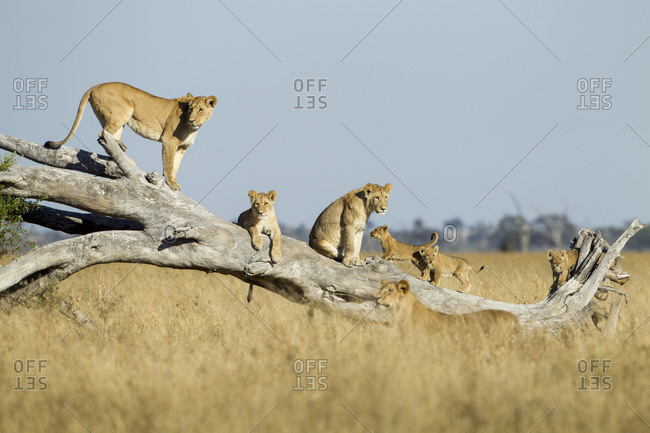 Lioness(Panthera leo) and cubs climbing on toppled dead acacia tree in Savuti Marsh