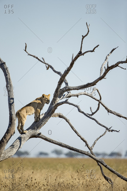 Lioness(Panthera leo) climbing branches of toppled dead acacia tree while hunting in Savuti Marsh