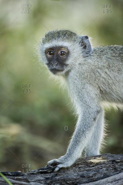 Vervet Monkey (Chlorocebus pygerythrus) standing on tree trunk in forest along Khwai River