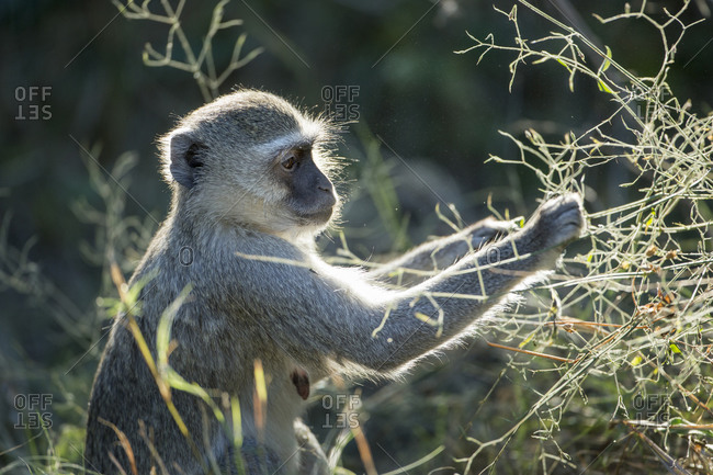 Vervet Monkey (Chlorocebus pygerythrus) pulling seeds from plants in forest along Khwai River