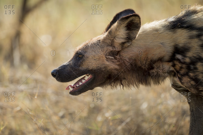 Profile of Wild Dog (Lycaon pictus) breathing hard while walking in Okavango Delta