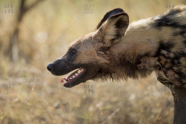 Profile of Wild Dog (Lycaon pictus) breathing hard while walking in Okavango Delta