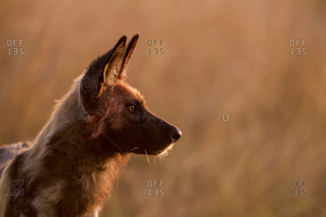 Profile of Wild Dog (Lycaon pictus) watching alertly at dusk in Okavango Delta