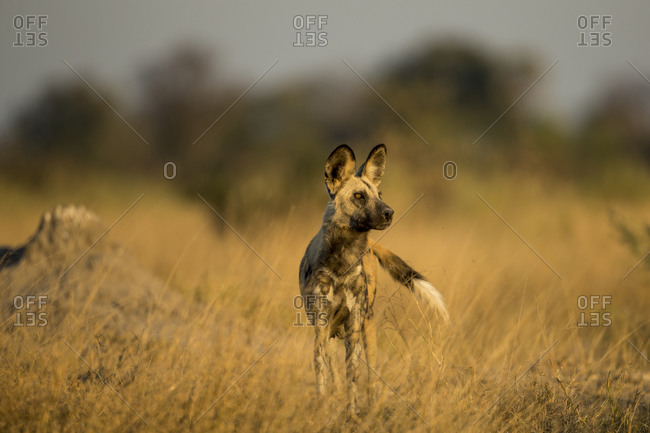 Wild Dog (Lycaon pictus) standing near den in tall grass in Okavango Delta at dusk