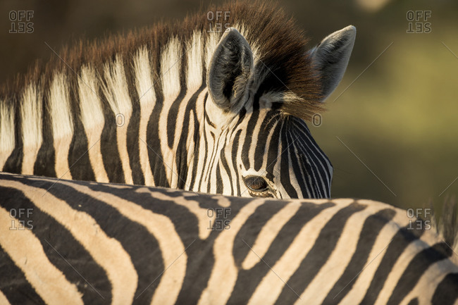 Plains Zebra (Equus burchelli) standing close beside other animals in herd in Okavango Delta
