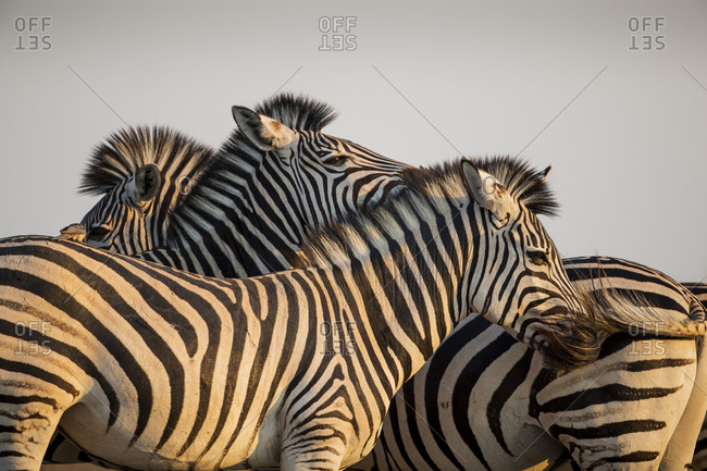 Close-up of tightly packed herd of Plains Zebra (Equus burchelli) at sunset in Okavango Delta