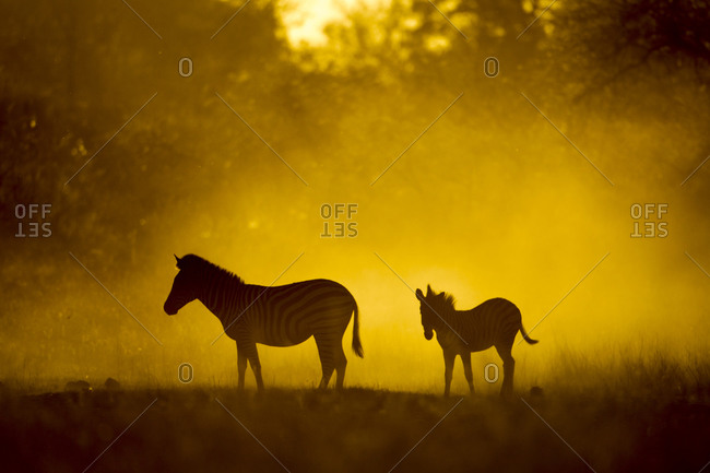 Plains Zebras (Equus burchelli) cooling off in dust lit by setting sun in Okavango Delta near Xakanaxa Camp