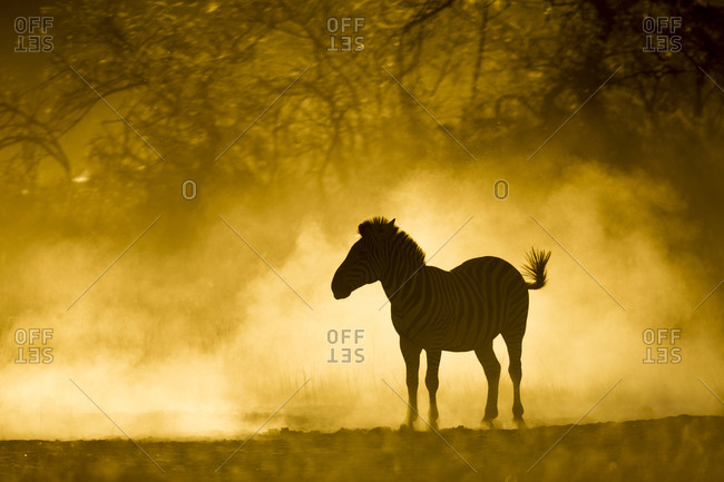 Plains Zebra (Equus burchelli) standing in cloud of dust lit by setting sun in Okavango Delta near Xakanaxa Camp